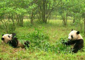 Panda Bären in Sichuan